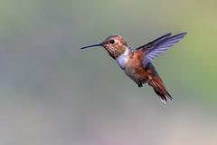 Flying (Patricia Ware) Tags: allenshummingbird birdsinflight california canon ef400mmf4doisiiusmlens handheld huntingtonbeach selasphorussasin ©2018patriciawareallrightsreserved unitedstates us specanimal