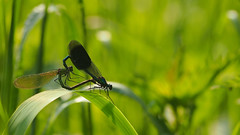Calopteryx Splendens - Mating (Visual Stripes) Tags: odonata calopterygidae weidebeekjuffer mating olympusepm1 sigma105mm macro green bokeh handheld olympus
