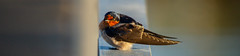 Welcome Swallow (Hirundo neoxenica) (AWLancaster) Tags: welcomeswallow hirundoneoxenica swallow birding shepparton victoria sony beautifulbirds native australia sunrise lake wetlands wildlife fauna animals