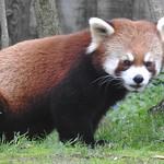 5109e2 Red Panda thumbnail
