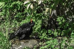 sunbathin' (lowooley.) Tags: blackbird sunbathing