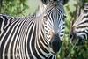 A close up shot of a zebra grazing on the grasslands of the savanna in Hwange National Park. Hwange, Zimbabwe. (Remsberg Photos) Tags: zimbabwe africa wildlife animalwildlife safari zebras plainszebras commonzebra burchellszebra mammal prey herbivore striped pattern upclose hwangenationalpark grazing feeding hwange