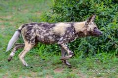 African Wild Dog (B1 Photo Safaris in Kruger National Park) Tags: private kruger safaris b1 africa african wild dog running green bush