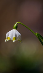 Fresh snowdrop on green background. Natural composition (AudioClassic) Tags: nature snowdrop spring green flower white plant blossom closeup fresh macro season leaf petal garden flora floral bloom sunlight blooming beauty snow beautiful forest meadow growth outdoor freshness detail seasonal natural bud color first springtime flowers grass growing outdoors life botany vegetation botanic bokeh daylight wood photography snowdrops