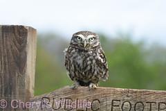 Little Owl (Cheryl's Wildlife) Tags: british wildlife centre britishwildlifecentre uk surrey kent bluebells littleowl barnowl owls tawnyowl longearredowl snowyowl nature woodland sigma nikon