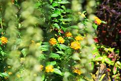都市花園 (briandodotseng59) Tags: flower yellow green nature city taiwan asia tree flickr nikkor nikon coth5 color history street light day sun