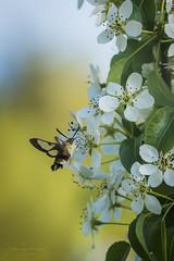 Hemaris tityus (Javier Díaz Barrera (javierdiazbarrera.es)) Tags: esfingeabejorro hemaristityus sphingidae lepidoptera mariposa polilla moth esfinge macro meg bicho bug javibichos javierdb javierdiaz javierdiazbarrera javierdíaz javierdíazbarrera javierdiazbarreraes insecto insect sonya99 sigma180macrof35