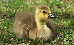 Goose bump (Shannon Rose O'Shea) Tags: shannonroseoshea shannonosheawildlifephotography shannonoshea shannon canadagoose goose gosling wildwoodlake harrisburg pennsylvania wild wildlifephotography wildlifephotographer nature wildlife waterfowl grass yellow bill baby art photo photography photograph colorful outdoors outdoor brantacanadensis dauphincounty flickr wwwflickrcomphotosshannonroseoshea throughherlens girlphotographer femalephotographer shootlikeagirl shootwithacamera canon canoneos80d canon80d eos80d 80d canon100400mm14556lisiiusm