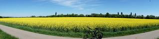 Le champ de colza  -  The field of colza