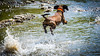 short story about a flying dog (ignacy50.pl) Tags: dog bavarian mountaineer animals water river mountains poland joy jumping outdoor fun hot
