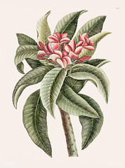 Plumeria from The natural history of Carolina, Florida, and the Bahama Islands (1754) by Mark Catesby (1683-1749).