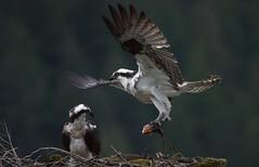 JRj-18-2089cs (john_robson) Tags: osprey pittlakebc bccanada