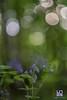 SEMPLICITA' (Lace1952) Tags: primavera bosco sottobosco fiore fioriture gruppo bolle sfocato bokeh fuorifuoco controluce prato pascolo