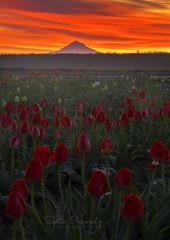 Tulips and Mt Hood on the Background. (Sveta Imnadze) Tags: tulips morning spring sunrise mthood woodburn woodenshoetulipfestival oregon