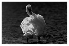 In Light of olor (Coisroux) Tags: cygnet swan cygnesolor shadows darnkness monochrome blackandwhite d850 nikond850 wildlifeportrait isolation 200500mmf56 feathers monomchromia 7dwf