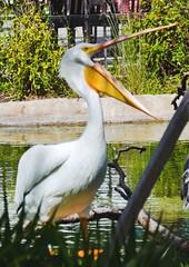 American White Pelican by water with its mouth open. Nikon D3100. DSC_0371. (Robert.Pittman) Tags: nikond3100 d3100 iamnikon sigma18300mmf3563dcmacrolens 72mmuvfilter bird pelican pelecanuserythrorhynchos zoo miamidadezoologicalparkandgardens miami florida fl33177 usa