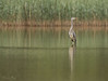 Heron on the prowl (Derek O'Bryan) Tags: heron wildlife nature waterscape hunting hungry lake wild movement ireland spring green yellow reeds eyes feather beak