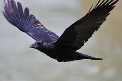 Corneille noire - Corvus corone - Carrion crow (pablo 2011) Tags: collectionnerlevivantautrement ngc nikonflickraward nikonpassion nikond500 nikkor200500mm toulouse nature patrickblondel oiseau bird corneillenoire carrioncrow corvuscorone garonne