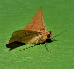 Moth Striglina cinnamomea Thyrididae Airlie Beach rainforest P1260876 (Steve & Alison1) Tags: streaky speckled moth airlie beach rainforest 30mm wingspan striglina cinnamomea thyrididae