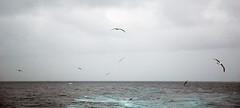 Underway in Antarctica (trphotoguy) Tags: antarctica birds ocean cruise blackbrowedalbatross thalassarchemelanophris