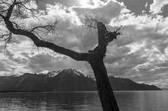 Arbre + lac + montagne (axel274) Tags: montreux nikond3400 nikonpassion schweiz suisse suisseromande switzerland vaud villeneuve veytaux chillon monochrome arbre lac montagne
