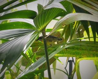 Bananaquit. Coereba flaveola