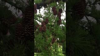 Japanese Larch (Larix kaempferi) - leaves & cones - April 2018