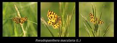 La panthère (didier.bier) Tags: geometridae ennominae pseudopanthera macularia l papillon butterfly schmetterling macro 100mmmacrof28usm canon eos80d france bourgognefranchecomté franchecomté jura 39 archelane archelange