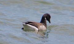 7K8A3221 (rpealit) Tags: scenery wildlife nature barnegat lighthouse state park brant goose bird