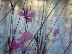 come farfalle nel vento (fotomie2009) Tags: flower fiore flora pink