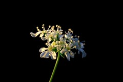 In the spotlight (peeteninge) Tags: lowkey macromondays flower nature fluitekruid bloem fujifilmxt2 fujifilm xf80mmf28 natuur