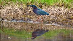 Green-Heron-Brant-Rock-5-16-18-2 (McDonaldMorgans) Tags: birding redshoulderedhawk greenheron greateryellowlegs brantrock kingston