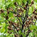 Ulmenblüte thumbnail