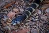 the king (jimmy_racoon) Tags: 70200 f4l is canon 5d mk2 king snake arizona desert nature reptile viper 70200f4lis canon5dmk2 kingsnake