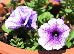 DSC_9936 Petunia (PeaTJay) Tags: nikond750 sigma reading lowerearley berkshire macro micro closeups gardens outdoors nature flora fauna plants flowers petunia