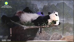 Precious Treasure and his chewed up blue ball 🐼💜🔵 (Robin Gower) Tags: sleep cub beibei snz pandastory panda ccncby