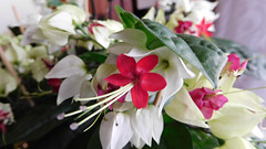 Clerodendrum thomsoniae (rosaura.cristina) Tags: glory bower bleeding gloria sangrante planta enredadera clerodendrum flower red