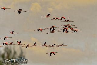 Greater flamingos leaving for night feeding-5231