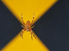WARNING - SPIDER (SGarriott) Tags: sgarriott scottgarriott olympus omd em5ii nature spider web animal warning alert sign