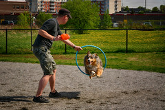 Welcome to the Circus (flashfix) Tags: may202018 2018inphotos ottawa ontario canada nikond7100 55mm300mm nikon flashfix flashfixphotography portrait sock dog canine animal pet austrailanshepherd triaustrailanshepherd bluemerle tricolour heterochromia happy hoop exercise jump trick