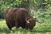 14-52: grazer (matt_in_a_field) Tags: cattle fuji animal highland horn graze grass fujinon fujifilm xt20 telephoto fens grafham