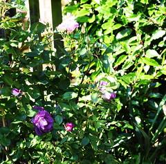 DSC_0015 (PeaTJay) Tags: nikond750 sigma reading lowerearley berkshire macro micro closeups gardens outdoors nature flora fauna plants flowers rose roses rosebuds