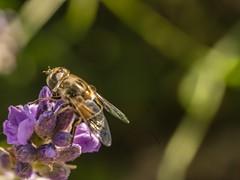 Bee on Lilac (James Maynard Gelinas) Tags: bee honeybee insect bug flower necter gatheringnecter pollen citynature urbannature nature citylife life cityecology tasmajdan tasmajdanpark belgrade serbia lilac macrophotography