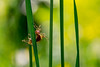 Insetto vegetale (manuel_togni) Tags: insect insetto macro d3100 erba grass green yellow nature strange curious colors