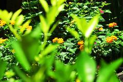 花 (briandodotseng59) Tags: green yellow sun light taiwan asia flower coth5 nikkor nature city corner nikon flickr