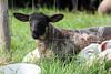 Hello! (RiverCrouchWalker) Tags: hello lamb marshfarmcountrypark marshfarm southwoodhamferrers essex fence wire farm spring