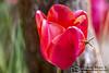 Tulipan rojo con visitante ( Tulipa agenensis) (Esmerejon) Tags: tulipánrojoconvisitantetulipaagenensisacompañadodealgunascuriosidadesetimologíalapalabra«tulipán»provienedelvocabloturcootomanotülbendque asuvez provienedeltérminopersadulbandambaspalabrassignifican'turbante'yhacenreferenciaalaformaqueadoptalaflorcuandoestácerradaorigenydistribuciónelcentrodediversidaddelgéneroseencuentraenlasmontañaspamirehindukushenlas encontrándosedistribuidopororientemedio irányafganistánparticularmente hacialapenínsuladeanatolia europadelsurynortedeáfrica poreloeste yhaciaelnorestedechina porelestelostulipanessecultivaroncomoplantasornamentalesdesdeprincipiosdelsigloxienanatoliadesdeestaregióneiránprovendríanlosbulbostomadosporeltoledanoibnmassalparasucultivoenelalándalus segúndocumentalaobraumdadelbotánicoabuijayr fechadaentrelossiglosxiyxii estudiadaporlosinvestigadoresestebanhernándezbermejoyexpiracióngarcíaconlaedadmoderna sucultivoseextendióhacialospaísesdelnortedeeuropa convirtiéndoseenlaflorsímbolodelospaísesbajosyparteinseparabledesupaisajetambiéntieneunusocomosímbolonacionalenirányturquíaentre1610y1620enfranciaypara1634enlospaísesbajos elentusiasmoporcultivarestasplantasbulbosassetransformóenunaverdaderafiebreconocidacomo«tulipomanía»sevendíanposesionesdetodotipoparacomprarbulbosdetulipányalgunostiposrarosdeestaespeciecostabanelpreciodeunagranja unacasaovarioscaballosen1623 unsolobulbodeunavariedadfamosadetulipánpodíacostarhasta1000florines—cifraexorbitantesisetieneencuentaquelagananciamediaanualenaquellaépocaerade150florines—porotrolado unbuencomerciantedebulbospodíaganar6000florinespormesen1635seprodujounaventadecuarentabulbospor100000florines—parapropósitodecomparación unatoneladademantecacostabaaproximadamente100florines—unverdaderorécordfuelaventadelbulbomásfamoso «semperaugustus» por6000florinesenhaarlemnohabíasuficientesbulbosenelmercadocomopararespaldarlademandaexistente porloquelatulipomaníasetransformóenunaespeculaciónfinanciera enlaquelosinversorescomprabanyven
