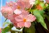 Pink Sweetness (Journey CPL) Tags: flower pink beautiful colorful vivid perfection sweet girly feminine color sweetness rain raindrop peach pinkish