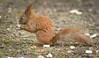 Red squirrel [explored] (hedera.baltica) Tags: squirrel redsquirrel eurasianredsquirrel wiewiórka wiewiórkapospolita sciurusvulgaris