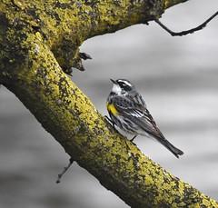 Yellow rumped Warbler (Peter Granka) Tags: confederationpark conservationarea hamilton yellowrumpedwarbler nature
